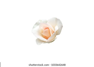 isolated rose pink color rose flower on white background with paths