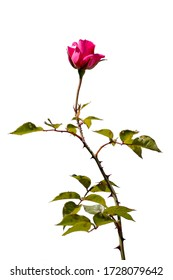 Isolated rose with a white background