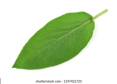 Isolated Sage Leaf.