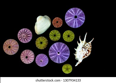 Isolated sea urchins on black background. Beautiful colorful shells from exotic nature.