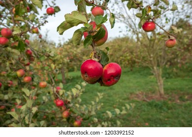 Isolated, shallow image of a pair of ripe cider orchard apples seen hanging from an apple tree in a commercial cider orchard during autumn.