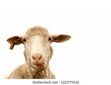 An isolated sheep face against white background, chewing
