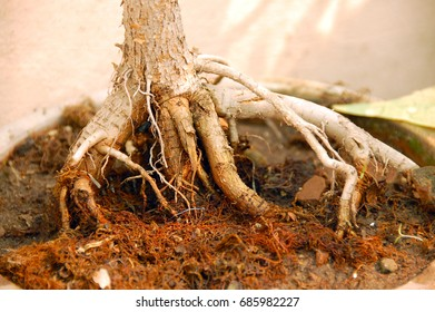an isolated shot of Bonsai Plant roots