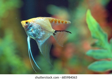an isolated shot of a Fish swimming in Aquarium