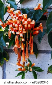 An isolated shot of Flame vine Orange Bignonia Flowers