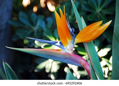 an isolated shot of Flower Bird Of Paradise Strelitzia reginae