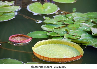 an isolated shot of Green Lotus Leaves in a pond