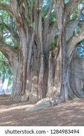 Isolated shot of the large trunk of the famous Tule Tree, in Oaxaca, Mexico
