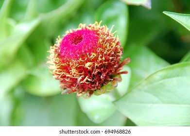 isolated shot of Pink Zinnia flower bud blooming