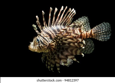 An isolated shot of the very beautiful and venomous Lion fish, Pterois volitans