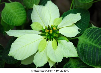 isolated shot of white Poinsettia Flowers on Christmas