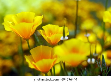 isolated shot of a yellow california poppy flower