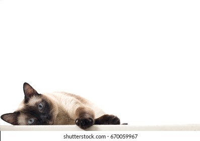 An Isolated Siamese Cat Staring and Lying Down on A White Background