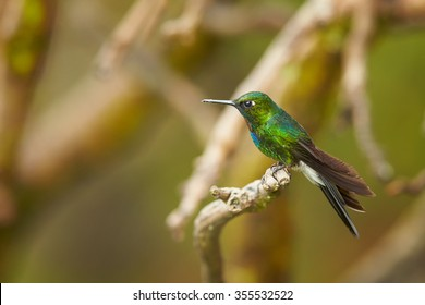 Isolated, side view of Tourmaline Sunangel, Heliangelus exortis, green colombian hummingbird with bright pink throat, perched on mossy twig in colombian cloud forest, Rio Blanco, Colombia.