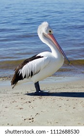 Isolated Single Australian Pelican Standing On Sand Beside Water With Gentle Waves Lapping Onto Beach Behind Bird