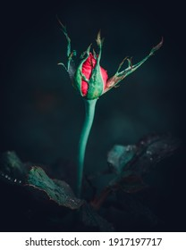 Isolated Single Large Red rose flower bud surrounded with green sepals in the dark close up photograph. Elegance and the romance of the red color concept. - Shutterstock ID 1917197717