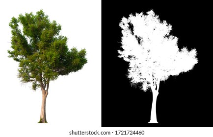 Isolated single tree on white background with clipping path and alpha channel