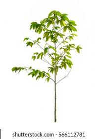 Isolated small tree