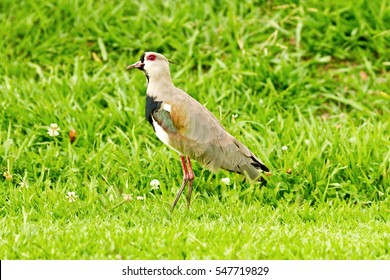 Isolated southern lapwing, vanellus chilensis, a water exotic bird, on the green grass field and flowers, in the Club at Aruja, Brazil