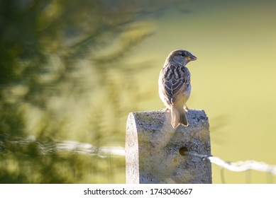 Isolated sparrow perching on a fenced pole in the garden