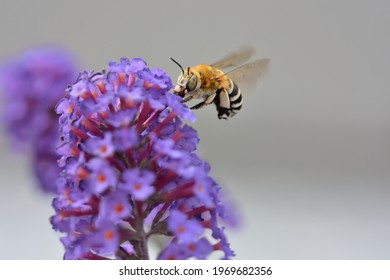 Isolated specimen of Amegilla, a genus of bees from the Anthophorini tribe, while sucking pollen from the flowers of buddleja davidii.