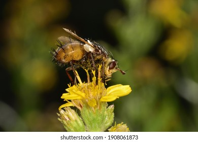 Isolated specimen of Tachina Praeceps on yellow flowers on natural bokeh background.