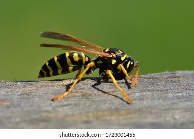 Isolated specimen of Vespula germanica (European wasp, German wasp, or German yellowjacket), while scratching with its jaws a wooden surface, from which it will obtain cellulose, to build the nest tha