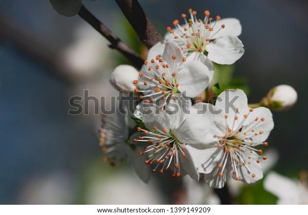 Isolated Spring Inflorescence Plum Tree Scientific Stock Photo