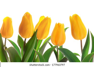 Isolated spring tulips flowerbed on a whute background