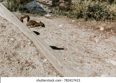 Isolated squirrel in mid jump along path in Yellowstone National Park, Wyoming.