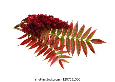Isolated Staghorn Sumac Spice Herb Plant Seed Drupe with Stem and Feaves (Rhus Coriaria).