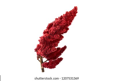 Isolated Staghorn Sumac Spice Herb Plant Seed Drupe (Rhus Coriaria).