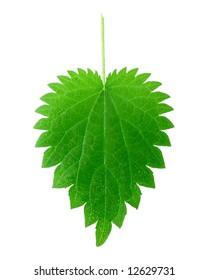 isolated stinging nettle leaf