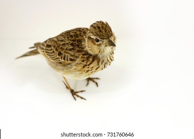 isolated stuffed eurasian skylark (alauda arvensis) taxidermy in aerial top view sitting on a white surface