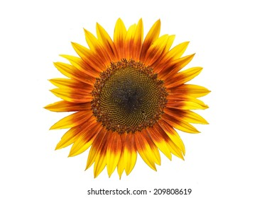Isolated Sunburst Yellow and Orange Sunflower with Dark Center