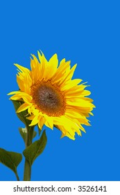 Isolated Sunflower against bright blue contrasting background