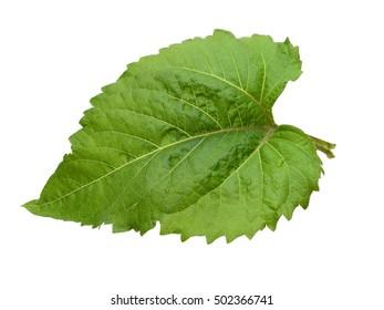 An isolated sunflower leaf