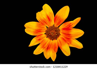 isolated sunflower on blackbackground