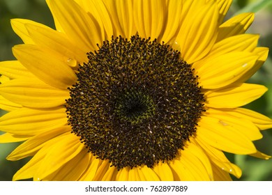 An isolated sunflower on a fiel dof sunflowers on sunny day