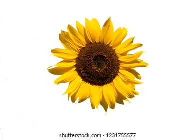 Isolated sunflower on white