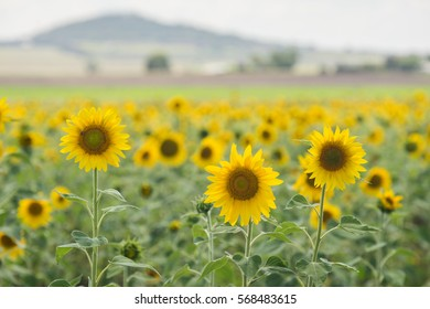 Isolated sunflowers in a large sunflower field - Toowoomba, Queensland, Australia