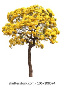 isolated tabebuia golden yellow cortez flower blossom tree on white background