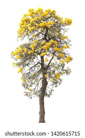 isolated tabebuia golden yellow flower blossom tree on white background for graphic design purpose