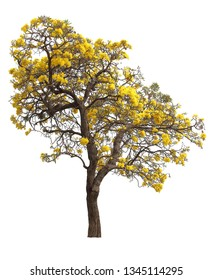 isolated tabebuia golden yellow trumpet flower blossom tree on white background