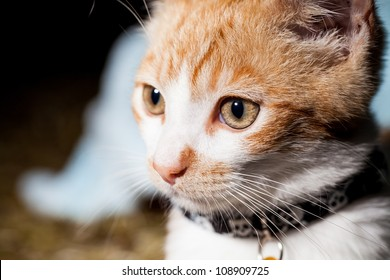 Isolated three quarter profile of a tabby cat with collar
