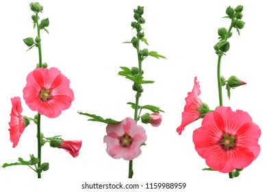 Isolated three sisters pink hollyhock flowers (Althaea rosea) on white background