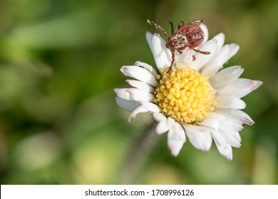 Isolated tick waiting on a flower for a new victim