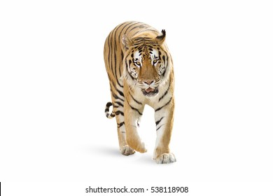 isolated Tiger on white background