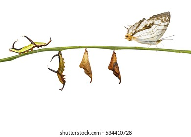 Isolated transformation of common map (Cyrestis thyodamas ) butterfly from caterpillar on twig with clipping path