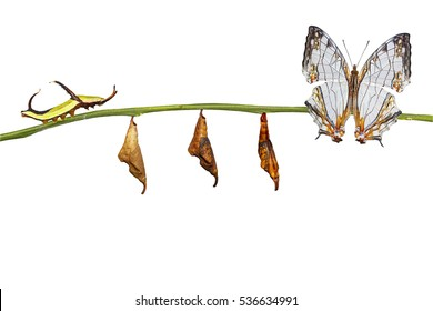 Isolated transformation of common map (Cyrestis thyodamas ) butterfly from caterpillar on twig with clipping path , change concept
